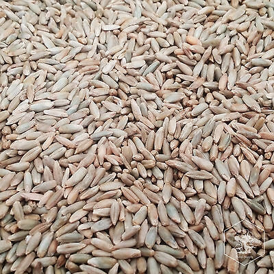 5 Pounds Organic Winter Rye Seed Berries for Mushroom Spawn or Garden Cover Crop