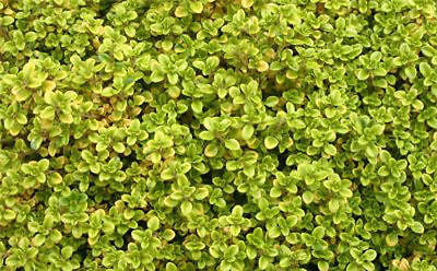 New Pack x6 Creeping Thyme 'Archers Gold' Perennial Garden Herb Plug Plants