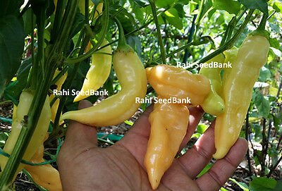 100 Seeds, Sugar Rush Peach - Rare Peach Coloured Sweet Chilli Variety from Peru