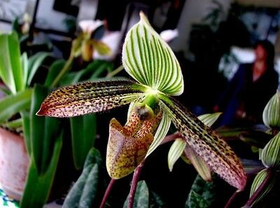 a  growths(plants) Paphiopedilum  wardii  BLOOM SIZE