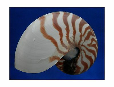 "Natural Chamber Nautilus pompilius Seashell 6"" New"