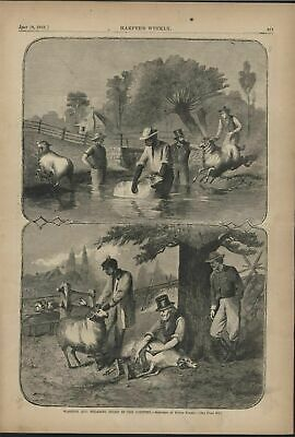 Washing and Shearing sheep in the Country 1868 antique wood engraved print