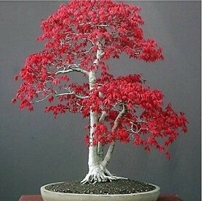 US-Seller 50Pcs Red Japanese Maple Tree Bonsai Seeds (B#)
