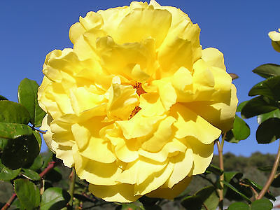 Bare Root Rose Climbing All Gold Rose Plant Rose Bush Climbing Rose