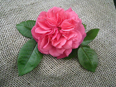 Bare Root Rose David Austin Lady of Megginch Fragrant Rose Floral
