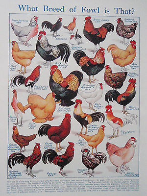 Breeds of POULTRY old vintage retro print CHICKENS HENS COCK FOWL inc BANTAM