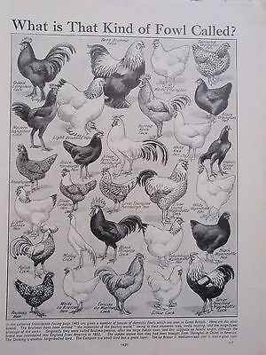 Breeds of FOWL old vintage retro print CHICKENS HENS COCK inc ORPINGTON & BRAHMA