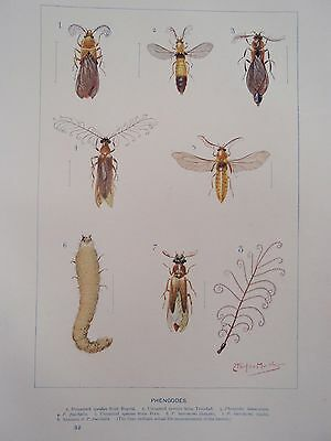 TYPES OF INSECT old vintage retro antique print GLOWWORMS etc 1903