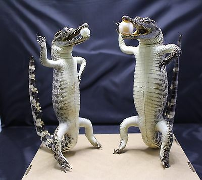 Lot of 2 - 43 cm (17.7 inch) Stuffed Real Freshwater Alligator TL090