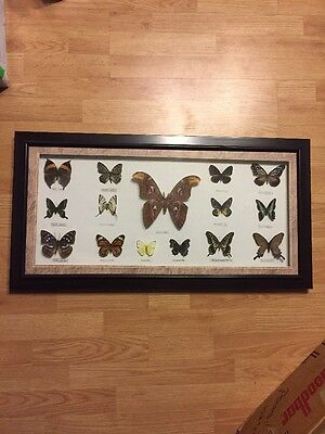BUTTERFLY BROWN FRAMED DISPLAY INSECT TAXIDERMY 15 Total
