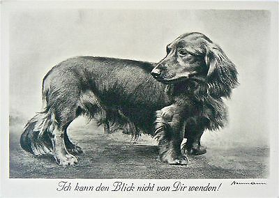 Postcard.dogs.dachshund.'a Champion'.larger Format.