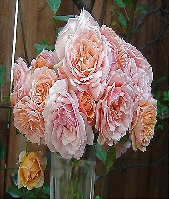 Fragrant Rose Bush Paul Bocuse Guillot Rose French Roses French Provincial Style