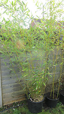 Phyllostachys Bissettii