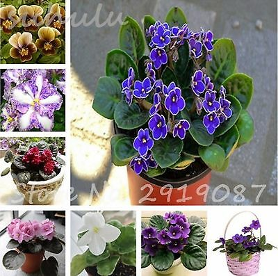 100 pcs Bonsai Violet Seeds, African Violet Flower Seeds