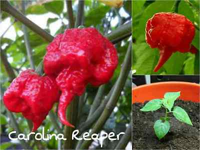 10 CAROLINA REAPER Chilli Seeds - Extremely Hot Quality Chilli Edible