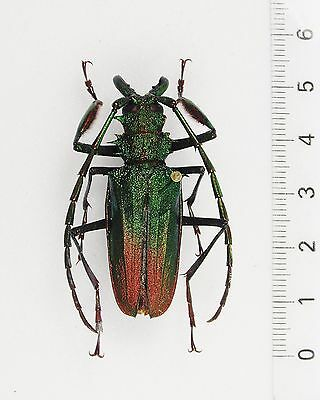 +++ INSEKTEN, KÄFER: PSALIDOGNATHUS SUPERBUS male RED-GREEN  RAR !!! ++++++++