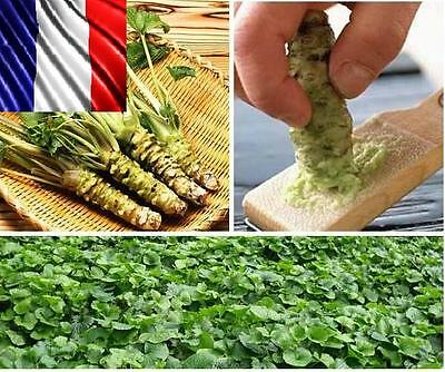 30 graines/seeds Rare Wasabi roquette (Diplotaxis erucoides) insolite