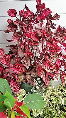 IRESINE, BLOODLEAF PLANT- 2 UNROOTED CUTTINGS - house shade sun FREE POSTAGE