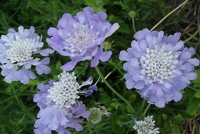 Pack x6 Scabiosa (Scabious) Butterfly Blue Perennial Plug Plants