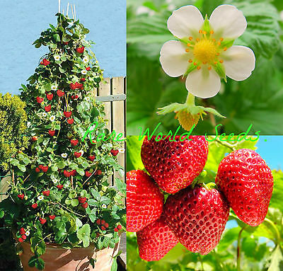 NEW! Strawberry 'Skyline' climbing stems AND fruits from every runner! SEEDS.