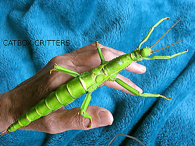 Adult Female Diapherodes Gigantea. Giant Green Bean Stick Insect. Exotic Phasmid