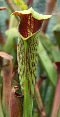Sarracenia alata red lid (UK) - very red throath