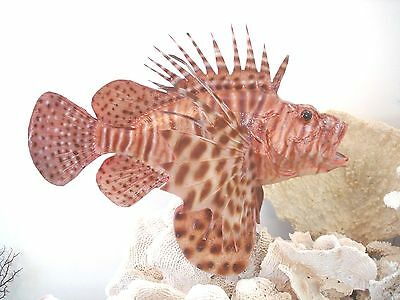 "16"" VOLITAN LIONFISH fiberglass reproduction blank"