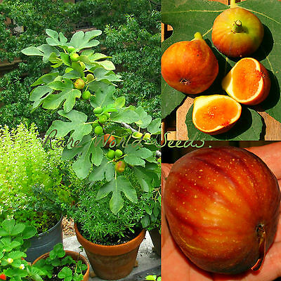 VERY RARE French Fig tree 'Madeleine des deux saisons' indoor or outdoor! seeds.