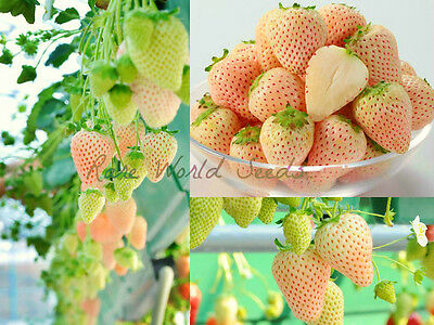 NEW! and RARE! Japanese WHITE Strawberry 'White Asuka Ruby' Super sweet! SEEDS.