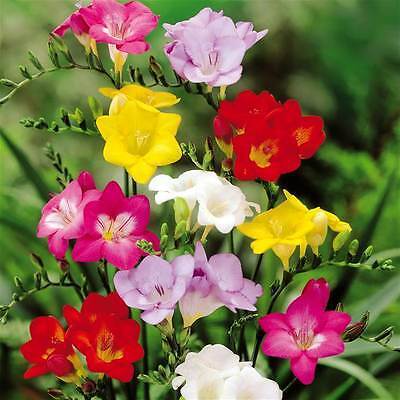 95 Single Freesia Fragrant Mix Summer Flower Hardy Perennial Garden Bulbs Corms