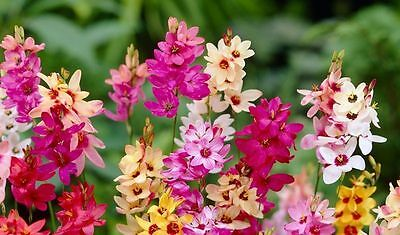95 Ixia African Corn Lily Mixed Perennial Spring Summer Plant Flower Bulbs