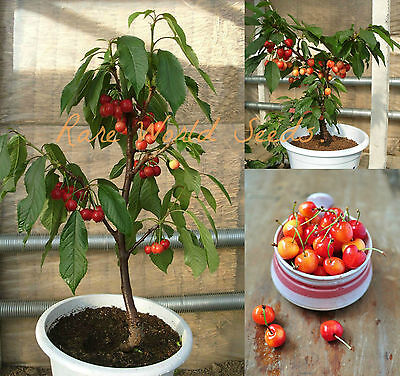 SUPER SWEET! Mini cherry tree 'Dwarf Rainier' For patio containers! RARE SEEDS.