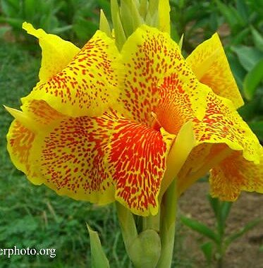 3X Canna Lily Yellow Leopard, yellow spotted flowers, rhizome, root
