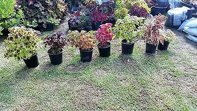 SALE ANY 5 COLEUS PLANTS FOR  $50 - house shade sun colour FREE POSTAGE