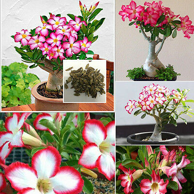 50Pcs/Bag Bonsai Adenium Obesum Seeds Desert Rose Perennial Flower Supply DIY