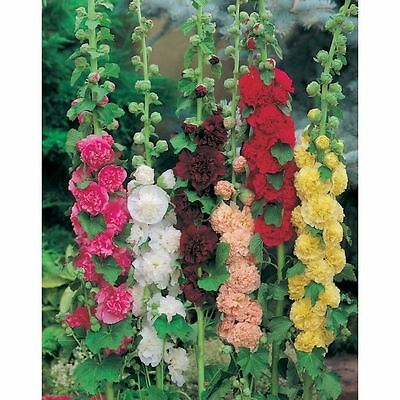 Pack x6 Hollyhock 'Chater's Double Mixed' Perennial Garden Plug Plants