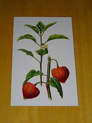Rhs Flower Printed Postcard ~ Physalis Alkekengi By H.g. Reichenbach ~ New