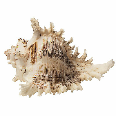 Large Seashell Interior Decoration – 15x20cm – Nautical Theme – White Colour