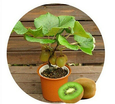 Kiwi Berry Seeds Actinidia arguta Plant Plants Small Potted Plants Kiwifruit New