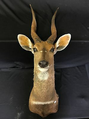 Bushbuck Taxidermy, South Africa