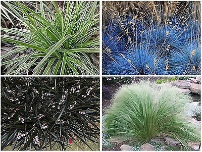 4 Grass Plants~Unusual EVERGREEN Ornamental Perennial Grasses~Colourful Mixed