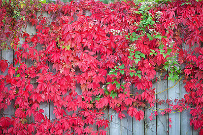 Parthenocissus Virginia Creeper Fast Growing Climber Climbing Plant American Ivy