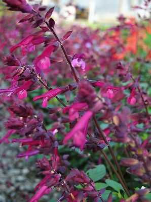 Pack x6 Salvia 'Love & Wishes' Perennial Garden Plug Plants New Variety