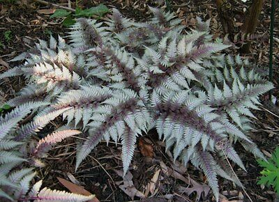 Athyrium Niponicum 'Red Beauty' Japanese Painted Colourful Fern Plant in 8cm Pot