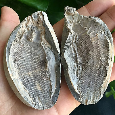 """130g Both sides of the fish well-preserved Million Year Old fish fossils 6224"""""""