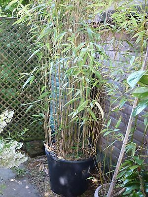 1 x Bamboo Established & potted approx 3m tall (6 available)
