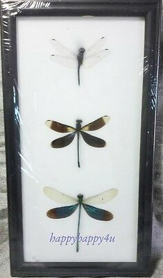3 Dragonfly Framed Brown Green Black Taxidermy Insect Bug Real Collectible