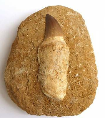 Mosasaur Tooth with Root - 11.5 x 3.5 cm - From Khourigba, Morocco