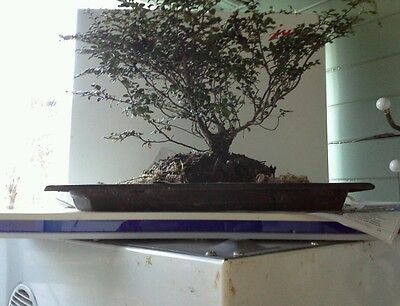 **BONSAI MYRTLE BEECH 35yr BARK COVERED TRUNK/BRANCHES