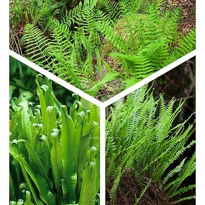 3 Fern Plant Selection~Unusual Potted Ferns~Mixed Varieties Tropical Plants~9cm